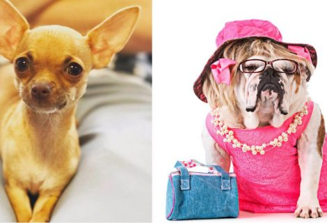 Does your dog have the Woof Factor? Legally Blonde Dog Auditions at Rhyl Pavilion